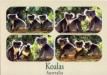 Koalas post card